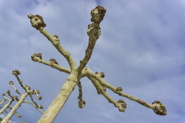 Detail sycamore tree without leaves on blue sky background