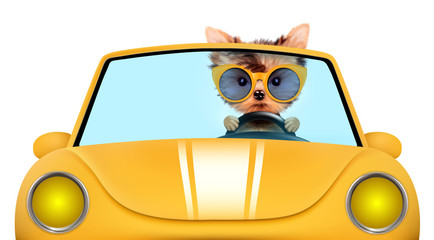 Funny puppy in the cabriolet with sunglasses