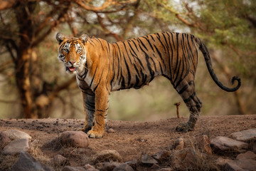 Young tiger female in a beautiful place full of color/wild animal in the nature habitat/India/big cats/endangered animals/close up with tigress
