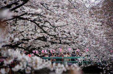 People look at blooming cherry blossoms in Tokyo