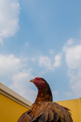 Asia Rooster or Chickens in Thailand.(Selective focus)
