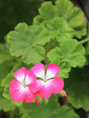 pink and white geraniums and buds with blurry background