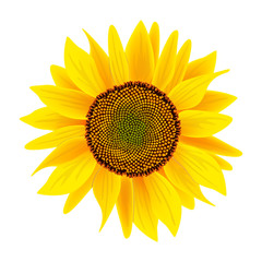 Sunflower flower or Helianthus isolated on white background