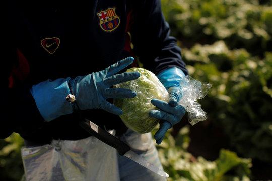 A worker wraps an iceberg lettuce in a lettuce plantation in Pulpi