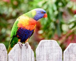 Rainbow Lorikeet on the fence