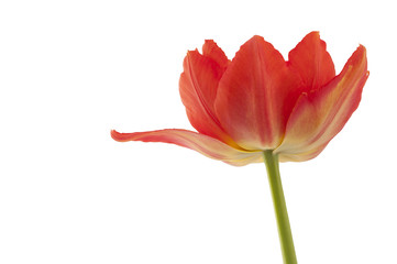 The orange tulip.The orange tulip isolated on a white background