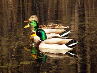 color detail photography of three ducks swimming on the lake