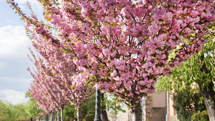 Cherry trees with pink blossom at Toth Arpad street, Budapest, Hungary