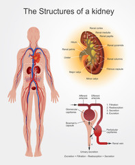 Structures of Kidney. part of human body. Anatomy Arts Vector graphic.