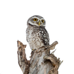 Spotted Owl Portrait isolated on white background