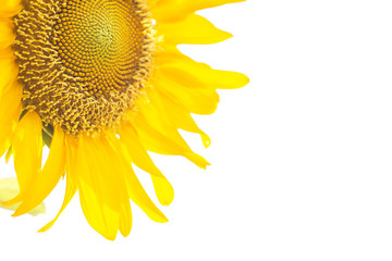 Closeup sunflower isolated on a white background