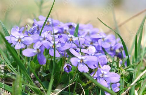 petites fleurs sauvage violette de montagne photo libre de droits sur la banque d 39 images. Black Bedroom Furniture Sets. Home Design Ideas