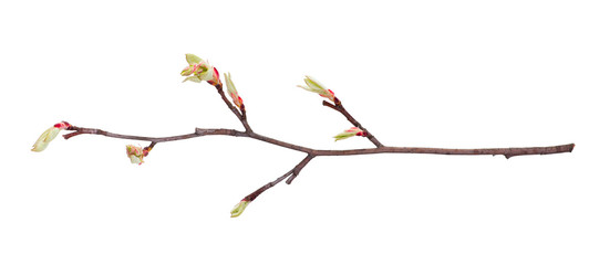 A young  branch of apple three with a leaves just starting to dissolve is isolated on a white background
