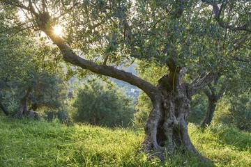 Olivenhain in der Abendsonne