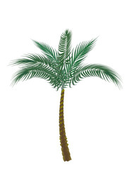 tropical green palm. Isolated on white background. illustration