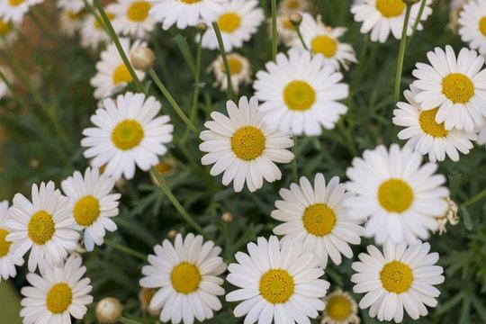Composition des fleurs. Camomille romaine.