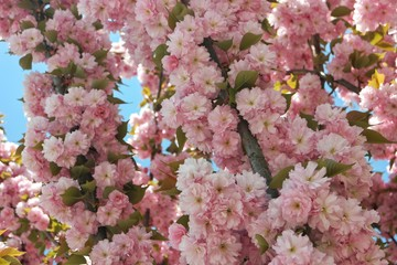 Oriental cherry tree in flowers