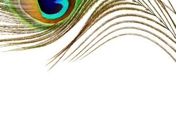 peacock feathers in white background with text copy space