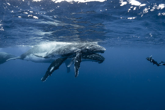 Diver photographing  humpback whale and calf underwater