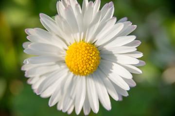 Single white daisy closeup