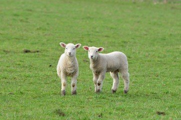 Two young lambs facing the camera in the green grass