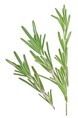 Fresh rosemary twigs on a white background, closeup