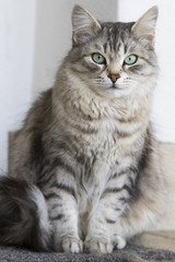 adorable silver siberian cat in the house