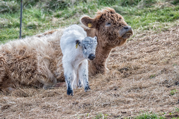 Galloway cow with calf