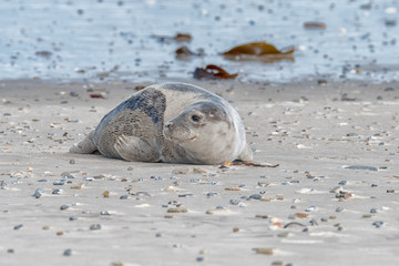 great grey seal