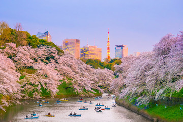 Chidorigafuchi park with full bloom sakura Wall mural