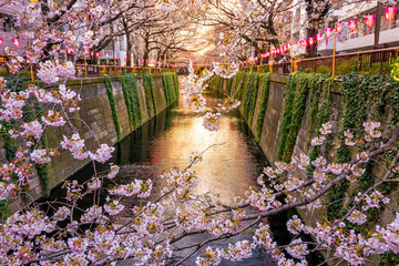 Wall Mural - Cherry blossom at Meguro canal at twilight in Tokyo