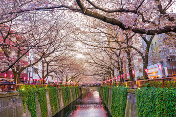 Cherry blossom at Meguro canal at twilight in Tokyo