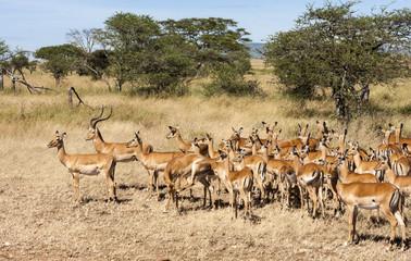 Resting Impala Antelope Tanzania Africa  Wall mural