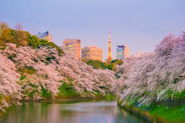 Wall Mural - Chidorigafuchi park with full bloom sakura