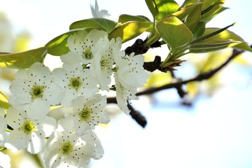 Nashi Pear blossoms in japanese spring