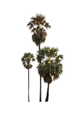 Sugar palm trees on isolated white background.