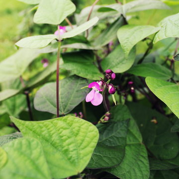Runner Bean Plant with flower in a Vegetable garden