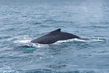 Humpback whales in wildlife