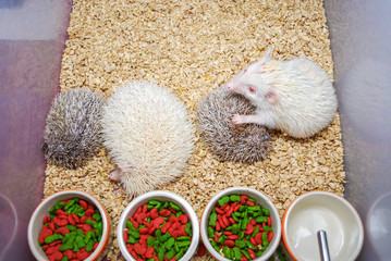White and Brown Hedgehogs in Plastic Bucket [Atelerix frontalis]