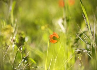 цветок мак и трава утром весной в каплях росы