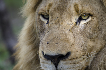 Lion (Panthera leo). Mpumlanga. South Africa