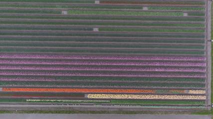 チューリップ ピンク オレンジ 直線 黄色 畑 緑 平行線 富山県 5月