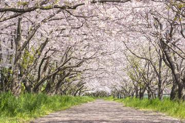 Foto op Canvas Kersenbloesem 桜並木