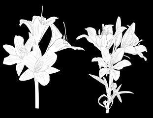 two lily white sketches isolated on black
