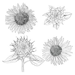 sunflower skectch vector