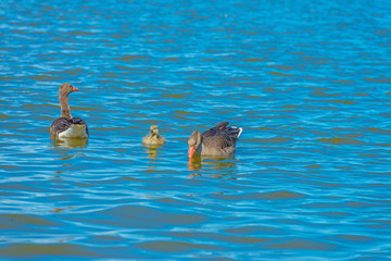 Geese and gosling swimming in a lake in wetland in spring