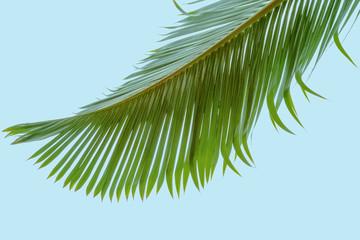 Photos illustrations et vid os de palmier bouteille - Palmier cocotier ...
