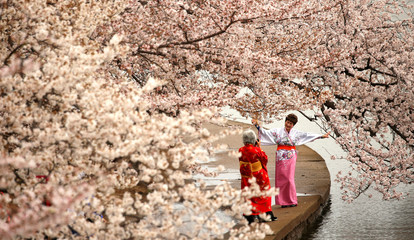 Women in kimonos take photos under the cherry blossoms along the Tidal Basin on a misty morning in Washington
