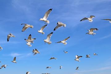 Ring-billed sea gulls against a blue sky Wall mural