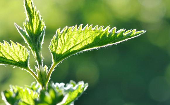feuilles d'ortie éclairée par lumière naturelle